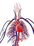 Cardiovascular system, computer artwork. Stock Photo - Premium Royalty-Freenull, Code: 679-06713852