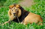 Asiatic lion or Indian lion (Panthera leo persica) male in a Zoo Stock Photo - Premium Rights-Managed,