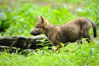 perception - Eurasian wolf (Canis lupus lupus) pup in the forest, Bavaria, Germany Stock Photo - Premium Rights-Managednull, Code: 700-06714173