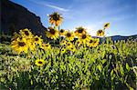 Yellow daisies growing in rural landscape Stock Photo - Premium Royalty-Free, Artist: AWL Images, Code: 614-06720087