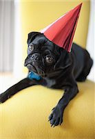 pvg - Dog wearing party hat on chair Stock Photo - Premium Royalty-Freenull, Code: 6113-06720887