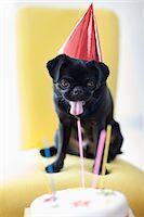 pvg - Dog in party hat examining birthday cake Stock Photo - Premium Royalty-Freenull, Code: 6113-06720914