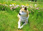 Shiba Inu Stock Photo - Premium Rights-Managed, Artist: Aflo Relax, Code: 859-06724972