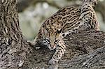 Ocelot Stock Photo - Premium Rights-Managed, Artist: Aflo Relax, Code: 859-06724975