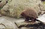Echidna Stock Photo - Premium Rights-Managed, Artist: Aflo Relax, Code: 859-06724981