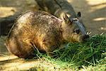 Southern Hairy-Nosed Wombat Stock Photo - Premium Rights-Managed, Artist: Aflo Relax, Code: 859-06724984