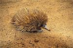 Echidna Stock Photo - Premium Rights-Managed, Artist: Aflo Relax, Code: 859-06724987