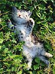 American Shorthair Stock Photo - Premium Rights-Managed, Artist: Aflo Relax, Code: 859-06725008