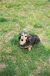 Dachshund sitting on the grass Stock Photo - Premium Rights-Managed, Artist: Aflo Relax, Code: 859-06725140