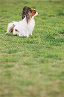 dogs in nature - Papillion sitting on the grass Stock Photo - Premium Rights-Managednull, Code: 859-06725170