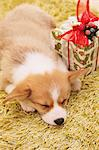 Corgi sleeping with Christmas present on a carpet Stock Photo - Premium Rights-Managed, Artist: Aflo Relax, Code: 859-06725173