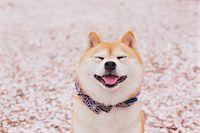 Shiba Inu Stock Photo - Premium Rights-Managednull, Code: 859-06725294
