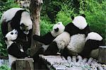 Pandas Stock Photo - Premium Rights-Managed, Artist: Aflo Relax, Code: 859-06725356