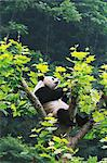 Panda Stock Photo - Premium Rights-Managed, Artist: Aflo Relax, Code: 859-06725362