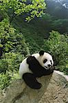Panda Stock Photo - Premium Rights-Managed, Artist: Aflo Relax, Code: 859-06725368
