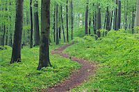 Footpath through spring beech forest with lush green foliage. Hainich National Park, Thuringia, Germany. Stock Photo - Premium Royalty-Freenull, Code: 600-06732584