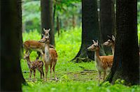 perception - Herd of fallow deer (Dama dama) with a calf in the forest, Bavaria, Germany Stock Photo - Premium Rights-Managednull, Code: 700-06733332