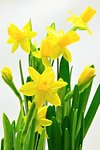 Yellow flowers of spring daffodils on a white background Stock Photo - Royalty-Free, Artist: ondrej83                      , Code: 400-06751902
