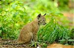 Eurasian lynx (Lynx lynx) cub in the forest, Hesse, Germany Stock Photo - Premium Rights-Managed, Artist: David & Micha Sheldon, Code: 700-06752146