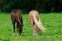 Welsh Ponys grazing on a meadow, Bavaria, Germany Stock Photo - Premium Rights-Managednull, Code: 700-06752335