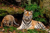 perception - Siberian tiger (Panthera tigris altaica) mother with her cub in a Zoo, Germany Stock Photo - Premium Rights-Managednull, Code: 700-06752449
