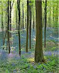 Beech Forest with Bluebells in Spring, Hallerbos, Halle, Flemish Brabant, Vlaams Gewest, Belgium Stock Photo - Premium Royalty-Free, Artist: Raimund Linke, Code: 600-06752572