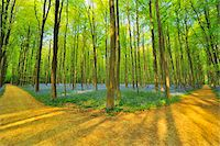 Forked Path through Beech Forest with Bluebells in Spring, Hallerbos, Halle, Flemish Brabant, Vlaams Gewest, Belgium Stock Photo - Premium Royalty-Freenull, Code: 600-06752579