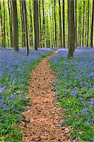 Path through Beech Forest with Bluebells in Spring, Hallerbos, Halle, Flemish Brabant, Vlaams Gewest, Belgium Stock Photo - Premium Royalty-Freenull, Code: 600-06752583
