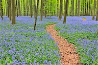 Path through Beech Forest with Bluebells in Spring, Hallerbos, Halle, Flemish Brabant, Vlaams Gewest, Belgium Stock Photo - Premium Royalty-Freenull, Code: 600-06752585