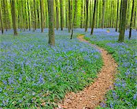 Path through Beech Forest with Bluebells in Spring, Hallerbos, Halle, Flemish Brabant, Vlaams Gewest, Belgium Stock Photo - Premium Royalty-Freenull, Code: 600-06752586
