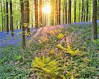 scenic and spring (season) - Sun through Beech Forest with Bluebells in Spring, Hallerbos, Halle, Flemish Brabant, Vlaams Gewest, Belgium Stock Photo - Premium Royalty-Freenull, Code: 600-06752589