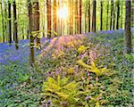 Sun through Beech Forest with Bluebells in Spring, Hallerbos, Halle, Flemish Brabant, Vlaams Gewest, Belgium Stock Photo - Premium Royalty-Free, Artist: Raimund Linke, Code: 600-06752589