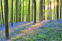 scenic and spring (season) - Sun through Beech Forest with Bluebells in Spring, Hallerbos, Halle, Flemish Brabant, Vlaams Gewest, Belgium Stock Photo - Premium Royalty-Freenull, Code: 600-06752590