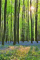 Sun through Beech Forest with Bluebells in Spring, Hallerbos, Halle, Flemish Brabant, Vlaams Gewest, Belgium Stock Photo - Premium Royalty-Freenull, Code: 600-06752594