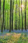 Sun through Beech Forest with Bluebells in Spring, Hallerbos, Halle, Flemish Brabant, Vlaams Gewest, Belgium Stock Photo - Premium Royalty-Free, Artist: Raimund Linke, Code: 600-06752594