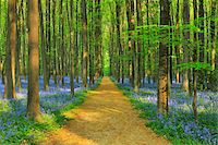 Path through Beech Forest with Bluebells in Spring, Hallerbos, Halle, Flemish Brabant, Vlaams Gewest, Belgium Stock Photo - Premium Royalty-Freenull, Code: 600-06752597
