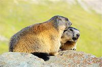 Alpine Marmots, Marmota marmota, Hohe Tauern National Park, Grossglockner High Alpine Road, Carinthia, Austria, Europe Stock Photo - Premium Rights-Managednull, Code: 700-06752608
