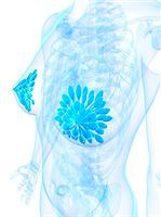 Breast anatomy, computer artwork. Stock Photo - Premium Royalty-Freenull, Code: 679-06754426