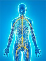 Nervous system, computer artwork. Stock Photo - Premium Royalty-Freenull, Code: 679-06754885