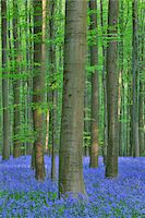 scenic and spring (season) - Beech Forest with Bluebells in Spring, Hallerbos, Halle, Flemish Brabant, Vlaams Gewest, Belgium Stock Photo - Premium Royalty-Freenull, Code: 600-06758115