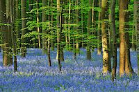 Beech Forest with Bluebells in Spring, Hallerbos, Halle, Flemish Brabant, Vlaams Gewest, Belgium Stock Photo - Premium Royalty-Freenull, Code: 600-06758116