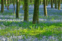 Beech Forest with Bluebells in Spring, Hallerbos, Halle, Flemish Brabant, Vlaams Gewest, Belgium Stock Photo - Premium Royalty-Freenull, Code: 600-06758117