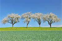 scenic and spring (season) - Row of Blossoming Apple Trees in Spring, Monchberg, Spessart, Bavaria, Germany Stock Photo - Premium Royalty-Freenull, Code: 600-06758241