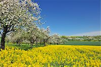 scenic and spring (season) - Countryside with Canola Field and Apple Trees in Spring, Monchberg, Spessart, Bavaria, Germany Stock Photo - Premium Royalty-Freenull, Code: 600-06758246