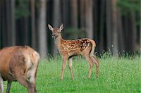 perception - Red deer (Cervus elaphus) fawn standing on the edge of the forest, Bavaria, Germany Stock Photo - Premium Rights-Managednull, Code: 700-06758313