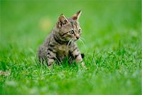 House cat youngster kitten on a meadow, bavaria, germany. Stock Photo - Premium Rights-Managednull, Code: 700-06758322