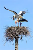 people mating - Couple of white storks building the nest Stock Photo - Royalty-Freenull, Code: 400-06758570