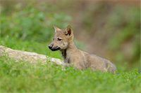 perception - Eastern wolf (Canis lupus lycaon) cub standing on a meadow, Germany Stock Photo - Premium Rights-Managednull, Code: 700-06773473