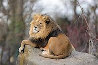 perception - Lion (Panthera leo) male lying on boulder outdoors in a Zoo, Germany Stock Photo - Premium Rights-Managednull, Code: 700-06773771