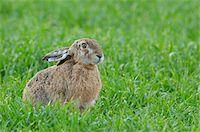 European Brown Hare (Lepus europaeus) in Grain Field in Springtime, Hesse, Germany Stock Photo - Premium Royalty-Freenull, Code: 600-06782078